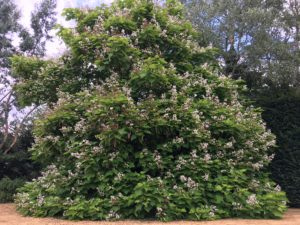 Flowering Catalpa