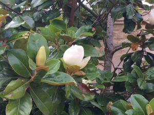 Magnolia Grandiflora at Kingham Cottages
