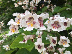 Catalpa Flowers at Kingham Cottages